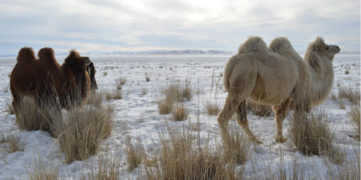 Bactrian Camels  - The Pavilions Mongolia